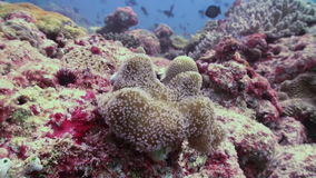Anemones and clown fish. Close Up Shot. Maldives. stock video footage