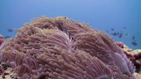 Anemones and clown fish. Close Up Shot. Maldives. Anemones and clown fish in the stream. Close Up Shot. Amazing, beautiful underwater marine life world of sea stock video