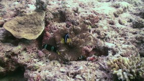 Anemones and clown fish. Close Up Shot. Maldives. stock footage