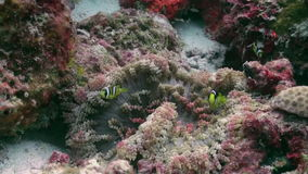 Anemones and clown fish. Close Up Shot. Maldives. Anemones and clown fish in the stream. Close Up Shot. Amazing, beautiful underwater marine life world of sea stock footage