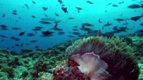 Anemones and clown fish at night on the sea floor. Anemones and clown fish at night on the sea floor in lagoon. Amazing, beautiful underwater marine life world stock video