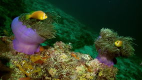 Anemones and clown fish at night on the sea floor. stock video footage
