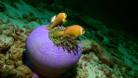 Anemones and clown fish at night on the sea floor. Anemones and clown fish at night on the sea floor in lagoon. Amazing, beautiful underwater marine life world stock footage