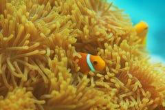Anemones com clownfishes pequenos imagem de stock royalty free