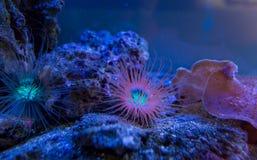 anemones Corais azuis em um aquário marinho foto de stock