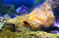 Anemones, corals and single bright fish Stock Photos