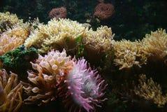 Anemones de mar Foto de Stock Royalty Free