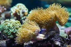 Anemones de mar, animais predatórios Foto de Stock Royalty Free