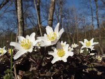 Anemones. On the edge of the forest Royalty Free Stock Image