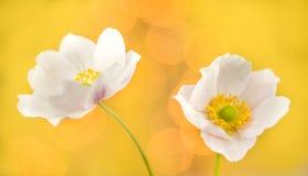 Anemones. Flowers on yellow background Stock Photo