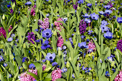 Anemones, Hyacinths flower mix Stock Photography