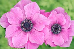 anemones imagem de stock royalty free