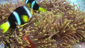 Anemones and multicolored clown fish. Maldives. stock video