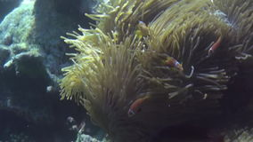Anemones and multicolored clown fish. Maldives. stock footage