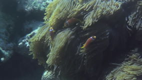 Anemones and multicolored clown fish. Maldives. stock video footage