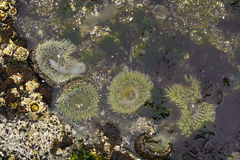Anemones open in an Ocean Tidepool Royalty Free Stock Photography