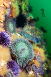 Anemones on reef Royalty Free Stock Photos