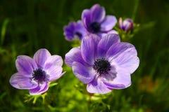Anemones roxos fotografia de stock