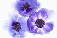 Anemones roxos Fotos de Stock Royalty Free