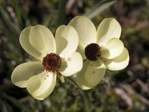 Anemones selvaggi gialli Fotografia Stock Libera da Diritti
