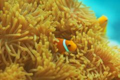 Anemones with small clownfishes Royalty Free Stock Image