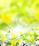 Anemones, spring-like background image Royalty Free Stock Images