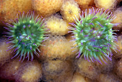 Anemones and Tunicates. A pair of pink-tipped anemones on a bed of colonial tunicates Royalty Free Stock Photography