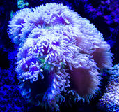 Anemones. Underwater World aquarium beautiful ammonium Royalty Free Stock Photos