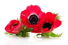 Anemones vermelhos fotos de stock