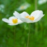 Anemones white flowers Stock Image