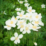 Anemones white flowers Stock Images