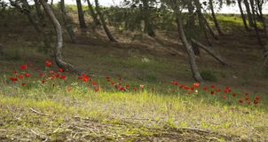 Anemonfält i skogen Arkivbild