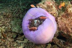 Anemonfish cor-de-rosa imagem de stock