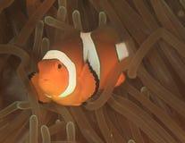 Anemonfish do palhaço foto de stock