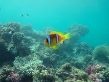 Anemonfish y escena del arrecife de coral Imágenes de archivo libres de regalías