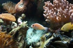 anemonfisk Royaltyfria Bilder