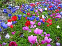 anemonhav Royaltyfria Bilder