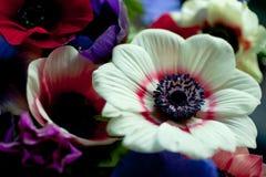 Anemoni Fotografia Stock