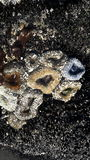 Anemoni a bassa marea Immagini Stock Libere da Diritti