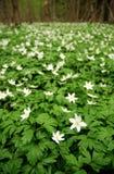 Anemoni della primavera Immagine Stock Libera da Diritti