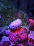 Anemoni di mare Immagine Stock Libera da Diritti