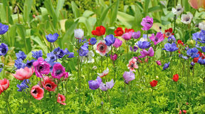 Anemoni nel giardino di Keukenhof Fotografie Stock Libere da Diritti