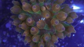 Anemoni rossi di punta della bolla che si muovono leggermente Underwater nella corrente video d archivio