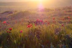 Anemoni selvaggi della natura sul tramonto Immagini Stock Libere da Diritti