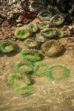 Anemoni verdi in uno stagno di marea basso fotografia stock libera da diritti