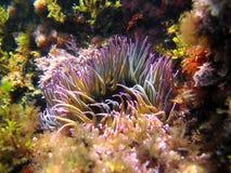 Anemonia sulcata lizenzfreie stockbilder