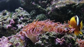Anemonia sulcata, beadlet anemone actinia equina. Footage of soft and hard corals, deep underwater world. Mediterranean snakelocks sea anemone in aquarium stock video footage