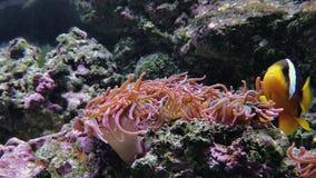 Anemonia-sulcata, Perlenanemone Actinia equina Gesamtlänge von Weiche und von Steinkorallen, tiefe Unterwasserwelt stock video footage