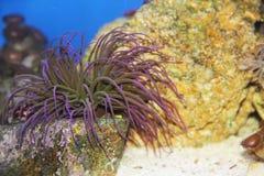 Anemonia viridis Arkivfoton