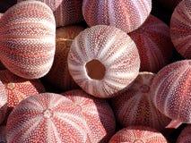 Anemonies de mer Photographie stock libre de droits